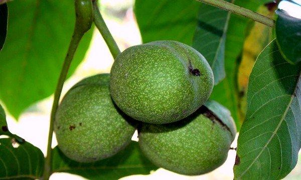 Отвар зеленой кожуры грецких орехов применяется при заболевании
