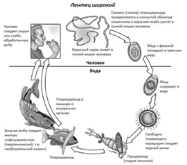 Жизненный цикл лентеца широкого