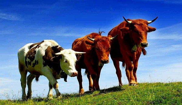Крупный рогатый скот может заразиться паразитом непосредственно в момент поедания травы