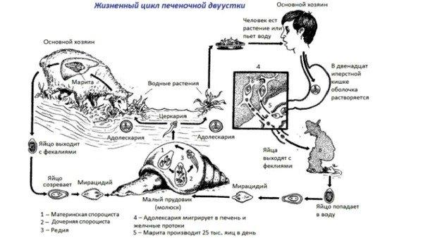 Жизненный цикл печеночной двуустки