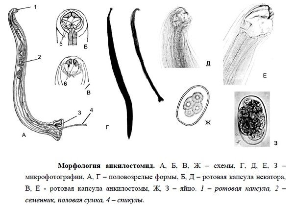 Паразиты имеют почти одинаковое строение: вытянутое, как и всех круглых червей, тело и мощный ротовой аппарат.