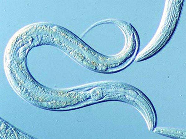 Длина тела круглых червей (нематод) различна, от менее миллиметра до немного менее 10 метров
