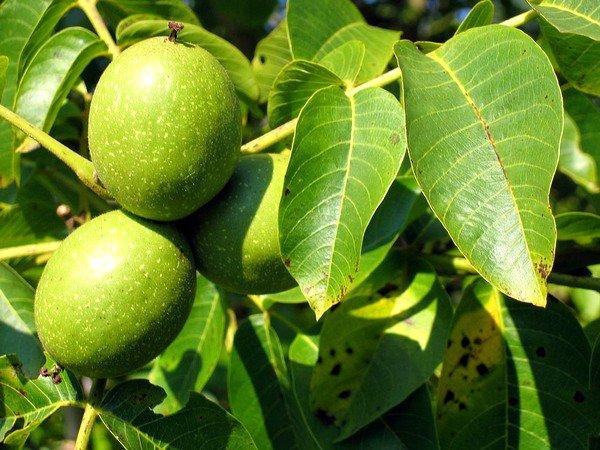 Листья и околоплодники ореха грецкого содержат флавоноиды, дубильные вещества, алкалоиды, каротин, витамин С, красящее вещество.