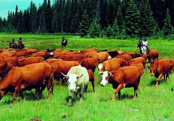 Пироплазмоз у крупного рогатого скота протекает остро