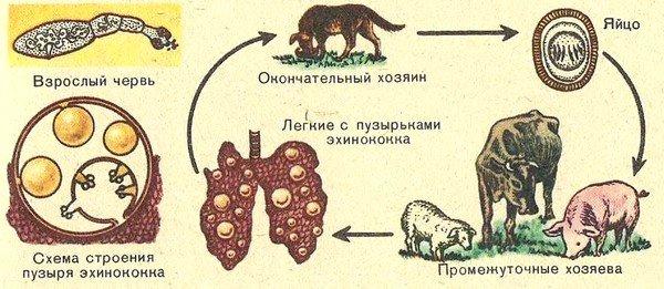 Множественный первичный эхинококкоз у животных встречается очень часто
