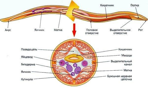 Строение паразита аскариды