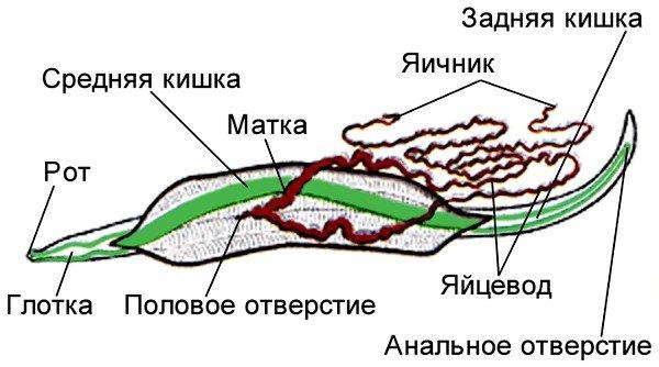 Схема строения аскариды