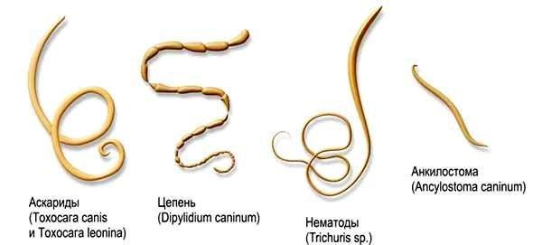 Рапространенные гельминты у человека