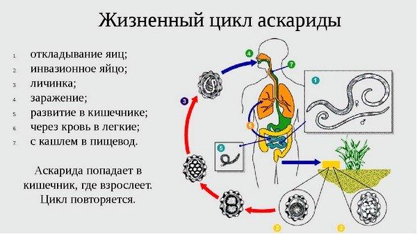 Схема жизненного цикла паразита аскариды