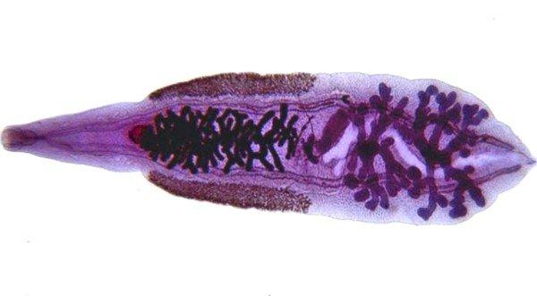 Считается, что китайский сосальщик является третьим по распространенности гельминтом в мире