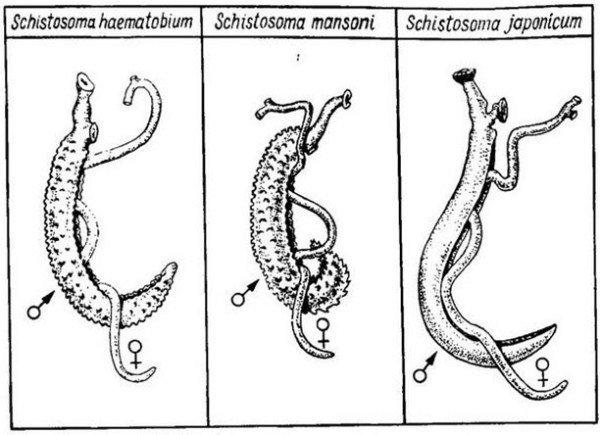 Длина червя может достигать 2 сантиметров при ширине до 0,6 мм, самки чуть больше