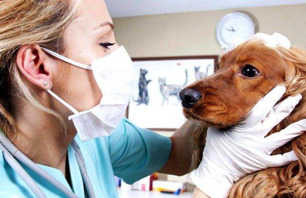 Челокек может заразиться токсокарозом от домашних животных