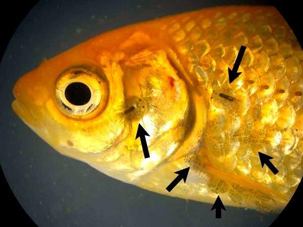 Дактилогирозы — остро протекающие инвазионные заболевания рыб, вызываемые моногенетическими сосальщиками из рода Dactylogyrus
