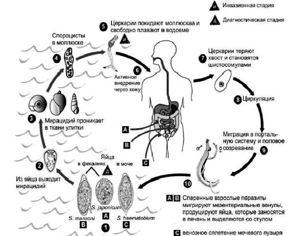 Схема жизненного цикла шистосом