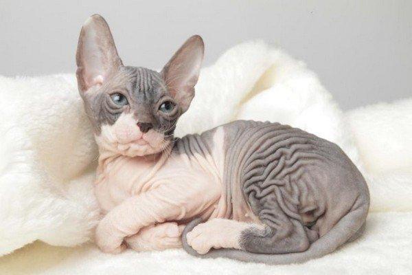 Коты породы Сфинкс