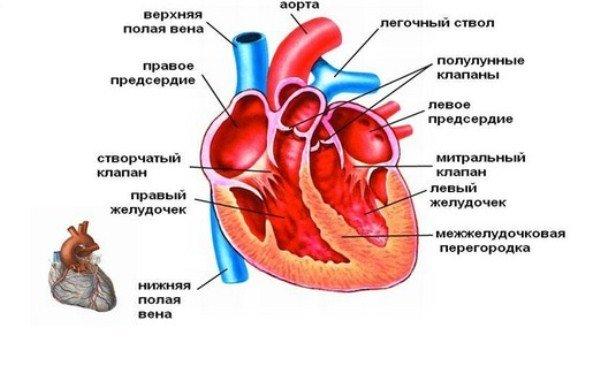 Строение сердца схема